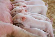 BioAktiv-S en BioAktiv Salis-S voor varkens