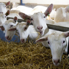 TopTack lanceert TopCare voor geiten.